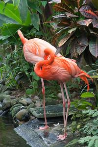 Two Caribbean Flamingos – Phoenicopterus ruber