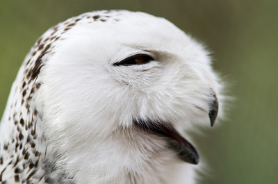 Snowy Owl Bubo scandiaca  Order - Strigiformes Family - Strigidae  Body: females 59 - 70 cm; males 52 - 64 cm; wingspan: 150 - 160 cm Weight: females 0.78 - 2.95 kg; males 0.7 - 2.5 kg Geographic range: The snowy owl has a circumpolar distribution around the Arctic circle (north of Europa, Asia and North America).  More information about Snowy owl in Encyclopedia of Life