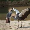 "Grey crowned cranes <i>(balearica regulorum)</i>. <a href=""http://www.wereldtuinenmondoverde.nl/index.php?id=18"">Mondo Verde</a>, Landgraaf, Netherlands."