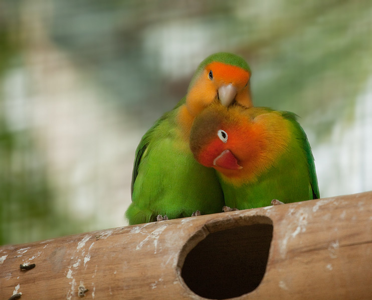 "Lovebirds - Peach-faced Lovebird <i>(agapornis roseicollis, left)</i> and Fischer's Lovebird <i>(agapornis fischeri, right)</i>. <a href=""http://www.wereldtuinenmondoverde.nl/index.php?id=18"">Mondo Verde</a>, Landgraaf, Netherlands."
