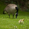 Canada goose (branta canadensis) with gosling.