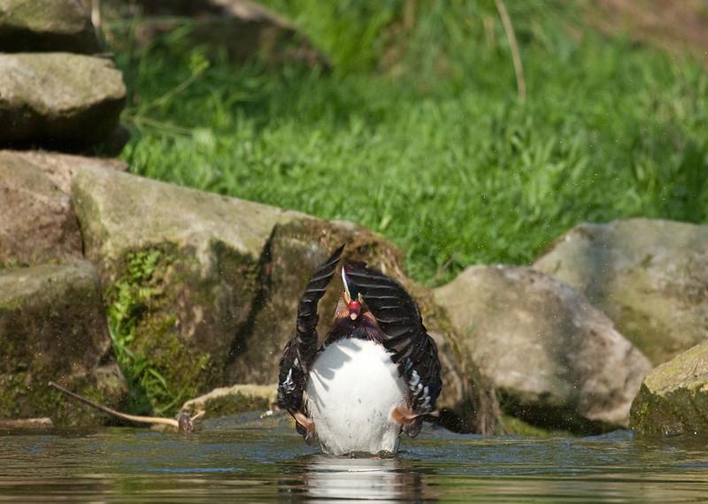 "Mandarin duck touching down. <a href=""http://www.wereldtuinenmondoverde.nl/index.php?id=18"">Mondo Verde</a>, Landgraaf, Netherlands."