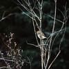 Saw-whet owl, Montana