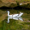 "Pied Avocet <i>(recurvirostra avosetta)</i>. <a href=""http://www.wereldtuinenmondoverde.nl/index.php?id=18"">Mondo Verde</a>, Landgraaf, Netherlands."