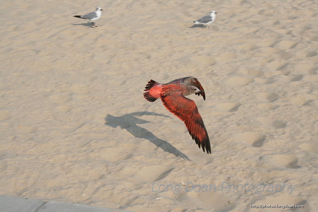 Red bird in Ocean City, Maryland.