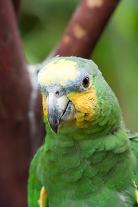 Orange-Winged Amazon Parrot Portrait - Amazona amazonica