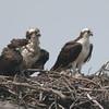 Osprey pair on the nest.
