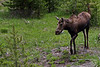 Moose @ Yellowstone NP, WY - June 2011