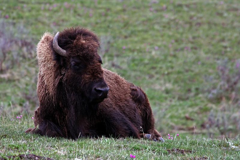 Buffalo @ Yellowstone NP, WY - June 2011