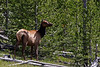 Elk @ Yellowstone NP, WY - June 2011