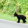 Black Bear @ Shenandoah NP, VA - Aug 2014