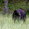 Black Bear - Cades Cove, Smokey Mountains Black Bear @ Cades Cove In Smokey Mountains National Park - May 2008