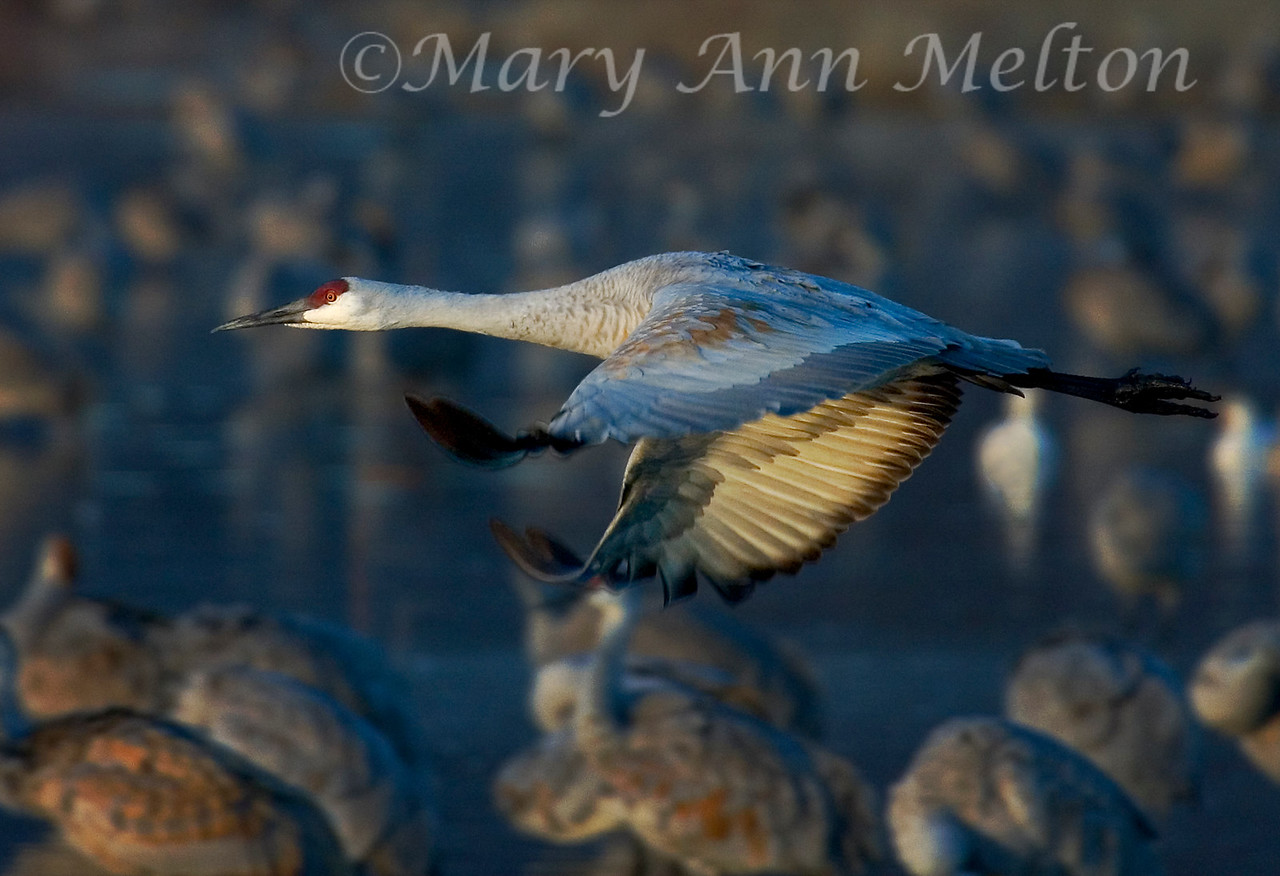 Sandhill crane (Grus canadensis) takes flight in the early morning light at Bosque del Apache
