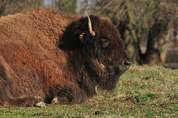 Buffalo & Livestock
