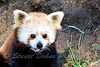 The Red Panda ~ Ailurus fulgens