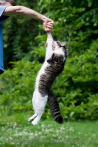 cat hanging on a raw turkey leg - BARF - Bones and Raw Food - adobe RGB