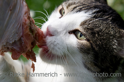 cat biting into a raw turkey leg - BARF - Bones and Raw Food - adobe RGB