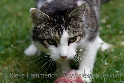 cat with fresh prey - raw feeding - adobe RGB