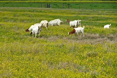 Goats - Texas