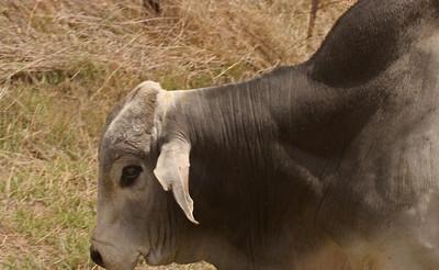 Brahma Cattle - Texas