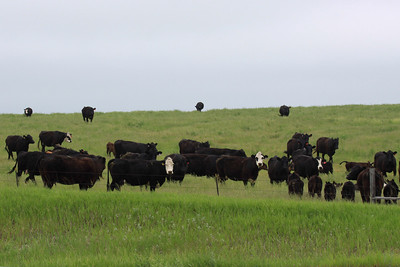 Beef Cattle - North Dakota