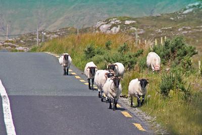 Sheep - Ireland