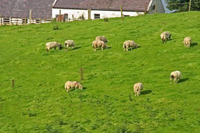 Sheep Grazing - Ireland