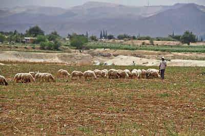 Sheep Herding - Israel
