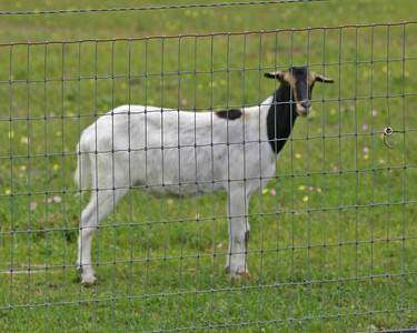 Goat - Texas
