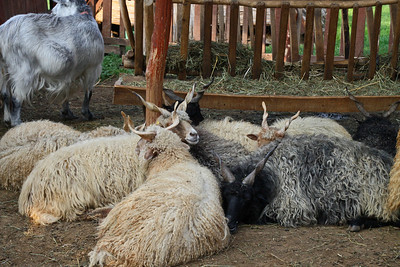 Twisted Horn Goats - Hungarian Horse Farm