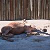 Very sleepy dromedary camel