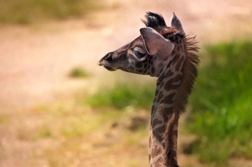 Adorable newborn giraffe -- 6 ft. tall and weighing 100 lbs.-- from the Cincinnati Zoo.<br /> The newborn took its first steps one hour after birth on July 27.  Wobbled a little and then fell.  The baby female's name is Cora.