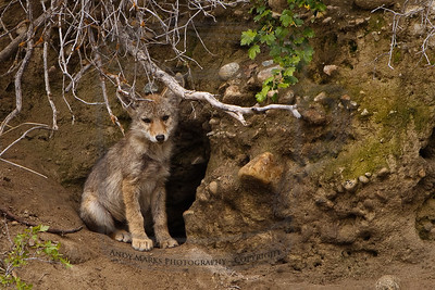 One of the cubs, sticking close to home. My camera/tripod is setup on a 10' wide wood chip path about 140' from the den.