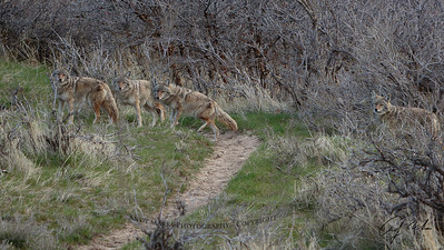 composite: 1 male coyote, 4 positions, 4 (hand held) shots
