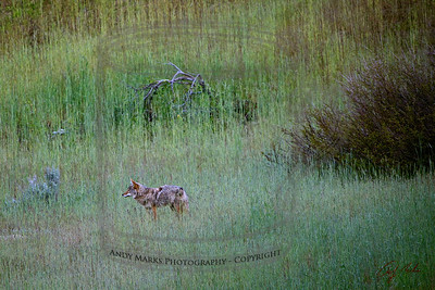 """""""Dad"""", gray w a bushy tail, about to leave the meadow and head further west."""
