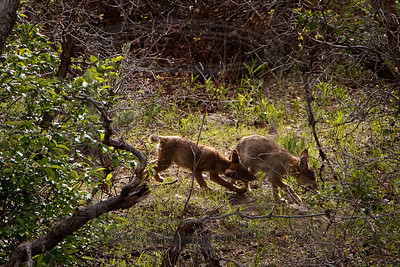Ankle nipping coyote pups.