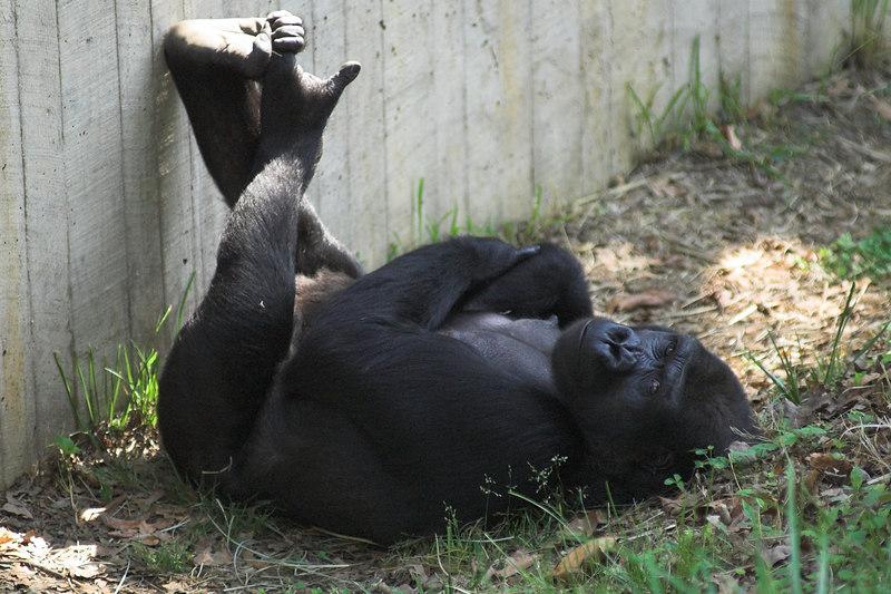 National Zoo - Western Lowland Gorillas 02-01