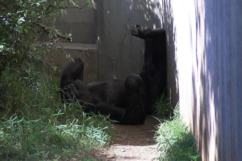 National Zoo - Western Lowland Gorillas 01-01