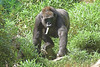 National Zoo - Western Lowland Gorillas 06-01