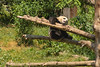 Baby Panda playing with Mom (7/8)