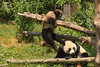 Baby Panda playing with Mom (3/8)