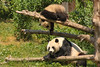 Baby Panda playing with Mom (1/8)