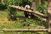 Baby Panda playing with Mom (6/8)