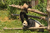 Baby Panda playing with Mom (2/8)