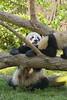 Momma and Baby Panda