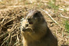 National Zoo - Prairie Dogs 07-01
