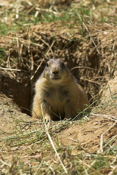 National Zoo - Prairie Dogs 03-01