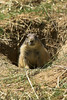 National Zoo - Prairie Dogs 03-01