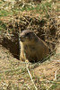 National Zoo - Prairie Dogs 02-01