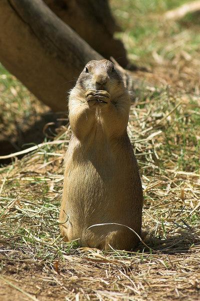 National Zoo - Prairie Dogs 01-01